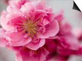 Detail of Cherry Blossom in Koraku-En Park Prints by Brent Winebrenner