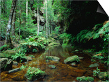 Temperate Rainforest at Greaves Creek, Feature of Grand Canyon Walk Blue Mountains NP, Australia Posters by Ross Barnett