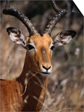 Impala Buck, Kruger National Park, Kruger National Park, Mpumalanga, South Africa Prints by Carol Polich
