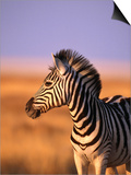 Portrait of Young Burchells Zebra (Equus Burchelli), Etosha National Park, Namibia Prints by Andrew Parkinson