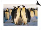 Emperor Penguins with Chick, Dawson-Lambton Glacier, Weddell Sea, Antarctica Art by David Tipling