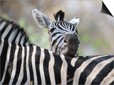 Adult Burchells Zebra Resting Head on Back of Another, Moremi Wildlife Reserve, Botswana Posters by Andrew Parkinson