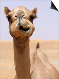 Cheeky Dubai Camel in Desert, Dubai, United Arab Emirates Posters by Holger Leue
