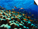 School of Anthias over Brain Coral - Red Sea, Ras Mohammed National Par Poster by Mark Webster