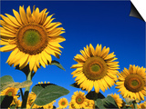 Detail of Sunflowers, Tuscany, Italy Prints by John Elk III
