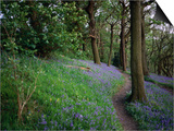 A Woodland Floor Carpeted with Bluebells-A Native Flower Unique to Britain Posters by David Else