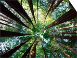 Arboleda Redwood Posters por Douglas Steakley