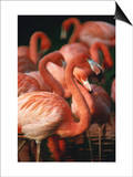 Flock of Greater Flamingos (Phoenicopterus Ruber), Tanzania Posters by John Hay