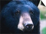 Black Bear (Ursus Americanus), U.S.A. Posters by Mark Newman