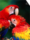 Pair of Preening Scarlett Macaw (Ara Macao), Puntarenas, Costa Rica Prints by Ralph Lee Hopkins