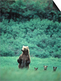 Brown Bear and Cubs, Mikfik Creek, U.S.A. Prints by Mark Newman