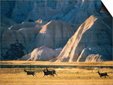 Mule Deer (Odocoileus Hemionus) with Backdrop of Rocky Hills, Badlands National Park, U.S.A. Poster by Mark Newman
