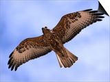 Immature Galapagos Hawk in Flight, Galapagos, Ecuador Prints by Ralph Lee Hopkins
