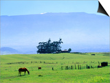 Horses Grazing Beneath the Towering Mauna Kea on Pastoral Parker Ranch at Waimea, Hawaii, USA Posters by Ann Cecil