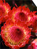 Beautiful and Exotic Protea Flower Grown on the Slopes of Haleakala Nat. Park, Maui, Hawaii, USA Prints by Ann Cecil
