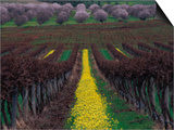 Vineyards and Almond Trees in the Mclaren Vale District, Australia Prints by Diana Mayfield
