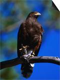 Harris Hawk (Parabuteo Unicintus), Perquin, El Salvador Posters by Alfredo Maiquez