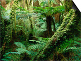 Trees and Ferns in Beech Forest, Oparara, New Zealand Poster by Oliver Strewe