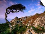 Wind-Sculpted Tree on Rocky Hillside, Connemara, Ireland Prints by Richard Cummins