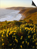 Yellow Lupine on Mcclure's Beach in Marin County, Point Reyes National Seashore, California, USA Posters by Wes Walker