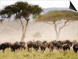 Topi, Serengeti National Park, Shinyanga, Tanzania Posters by Ariadne Van Zandbergen