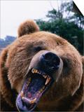 Grizzly Bear (Ursus Arctos), Denali National Park & Preserve, Alaska, USA Poster by Mark Newman