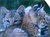 Bobcats (Felis Rufus), U.S.A. Prints by Mark Newman