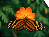 Large Tiger Butterfly (Lycorea Cleobaea) Resting on a Flower, Costa Rica Art by Mark Newman