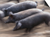 Black Iberico Pigs, Andalucia, Spain Print by Oliver Strewe