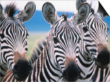 Group of Common Zebras Prints by Tom Cockrem