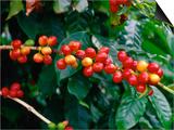 "The Red Coffee ""Cherry,"" Arabica Typica, Honaunau, Hawaii (Big Island), Hawaii, USA Posters by Ann Cecil"