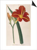 Tawny Day Lily Posters by William Curtis