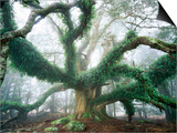 Largest known Myrtle Tree in the World Prints by Rob Blakers