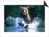 Grizzly Bear Running in Kinak Bay, Katmai National Park, U.S.A. Art by Mark Newman