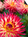 Dahlia Flowers at the Dahlia Garden in Golden Gate Park Prints by Sabrina Dalbesio