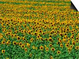Sunflower Field, Tuscany, Italy Prints by David Tomlinson
