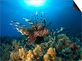 Lion Fish over Reef, Abu Galowa Reef, Fury Shoal, Red Sea Prints by Mark Webster