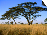 Acacia Trees on Serengeti Plains, Serengeti National Park, Tanzania Art by Dennis Johnson