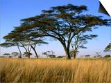 Acacia Trees on Serengeti Plains, Serengeti National Park, Tanzania Art by Dennis Johnson