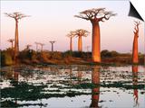 Baobab Trees (Adansonia Grandidieri Baobabs) Near Avenue Du Baobab Posters by Olivier Cirendini
