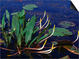 Marine Flora, Okefenokee Swamp Park, Georgia, USA Posters by Lawrence Worcester