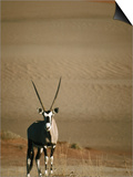 Gemsbok, or South African Oryx ( Oryx Gazella ), in Sand Dunes, Namib Desert Park, Namibia Prints by David Wall
