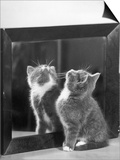This Small Grey and White Kitten Stares up at the Ceiling While Sitting Next to a Large Mirror Prints by Thomas Fall