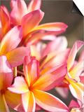 Plumeria or Frangipani Prints by Ann Cecil