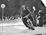 Brown Bear Riding a Motorcycle at the Bertram Mills Circus Posters