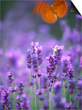 Lavender and Butterflies, Provence-Alpes-Cote d'Azur, France Posters by Dan Herrick
