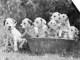 Six of the Puppies are Crowded in the Basket the Seventh is the Clever One as He Sits Outside It Prints by Thomas Fall