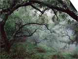 Oak Tree Forest after Storm Pósters por Douglas Steakley