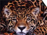 Portrait of a Jaguar, Brazil Posters by Mark Newman
