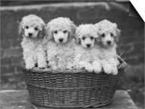 "Four ""Buckwheat"" White Minature Poodle Puppies Standing in a Basket Posters by Thomas Fall"